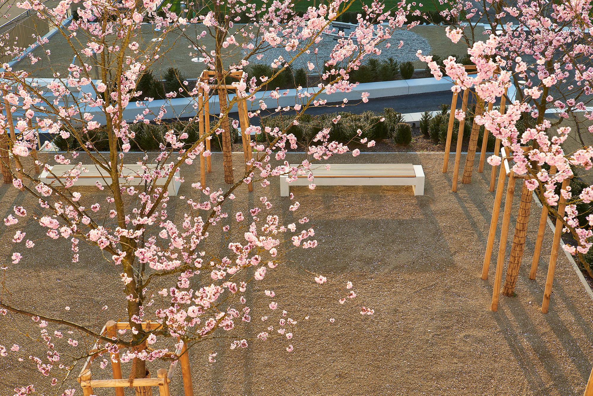 Im April des Jahres: Sakura in Quierschied